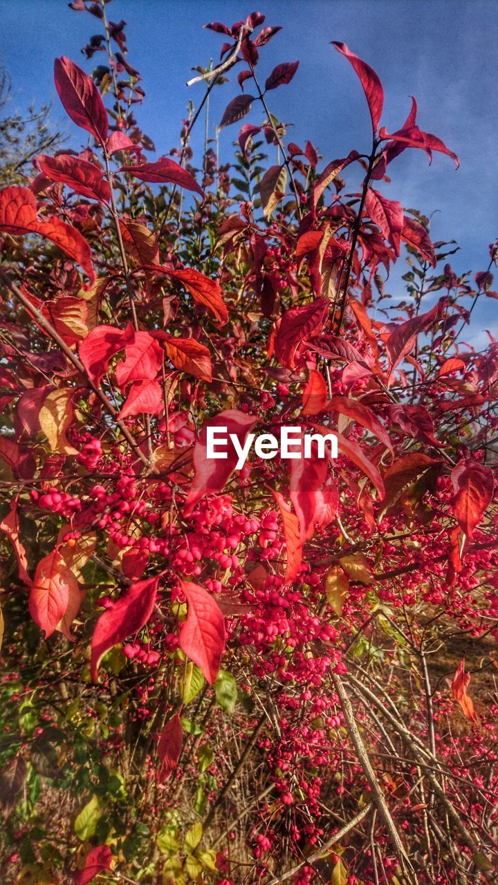 growth, low angle view, beauty in nature, nature, tree, flower, red, no people, day, freshness, outdoors, leaf, plant, branch, sky, autumn, fragility, close-up, flower head