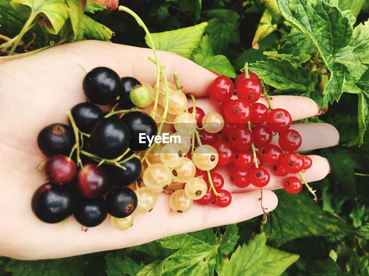 Cropped Image Of Hand Holding Currants