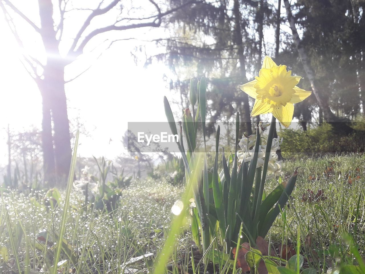 plant, flower, flowering plant, beauty in nature, growth, yellow, vulnerability, freshness, fragility, nature, field, petal, day, land, no people, close-up, flower head, inflorescence, daffodil, tree, outdoors, springtime