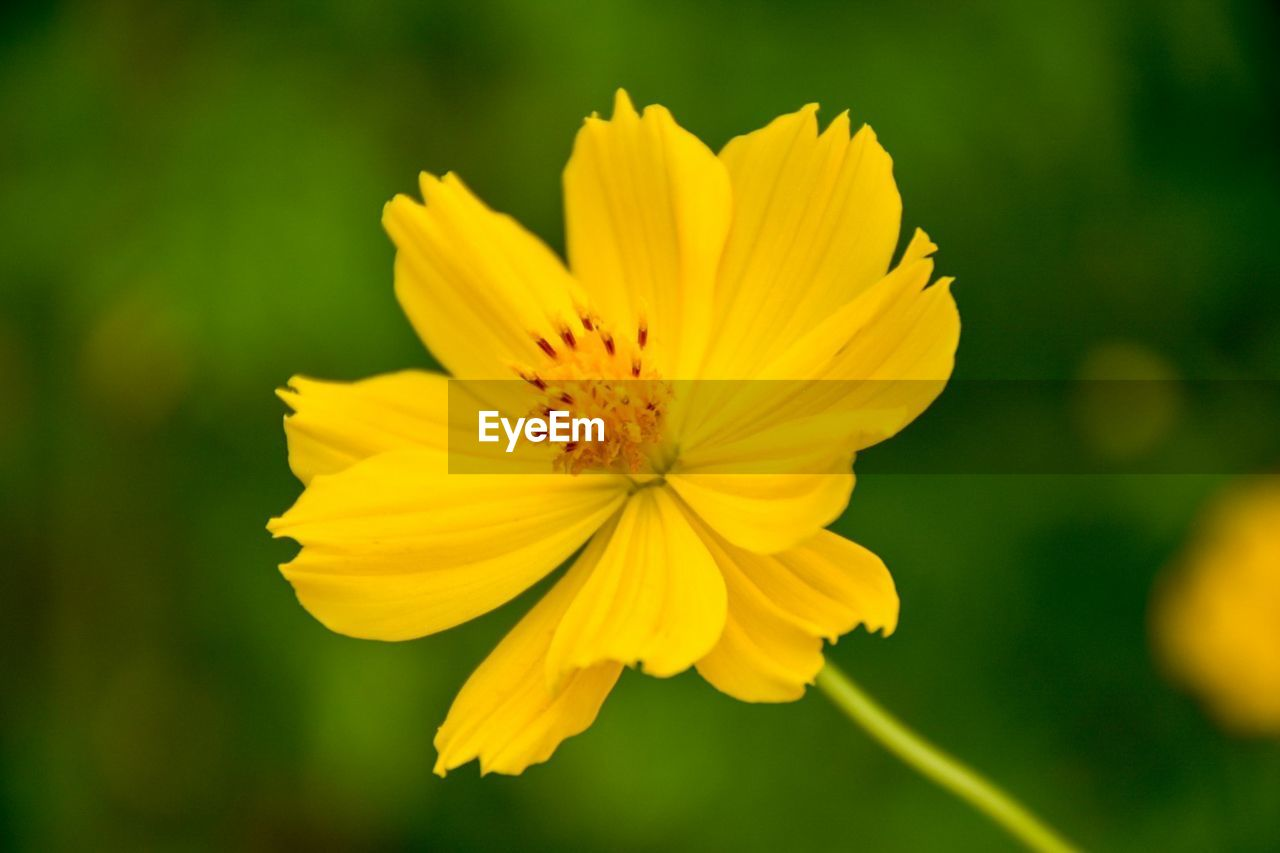 flower, flowering plant, yellow, fragility, freshness, petal, vulnerability, flower head, inflorescence, beauty in nature, plant, growth, close-up, pollen, focus on foreground, no people, nature, cosmos flower, day, outdoors