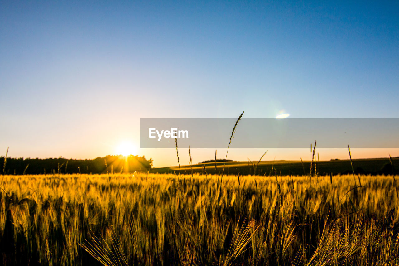 sky, field, sunset, landscape, sun, beauty in nature, crop, tranquility, plant, land, tranquil scene, agriculture, scenics - nature, growth, rural scene, sunlight, environment, nature, cereal plant, no people, farm, lens flare, outdoors, bright, stalk, plantation