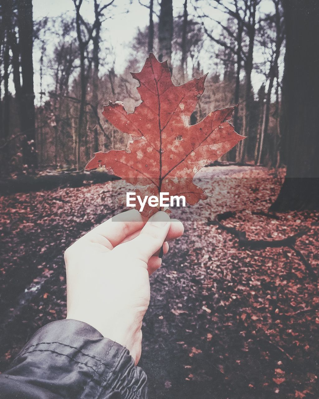 Cropped Image Of Hand Holding Maple Leaf At Forest