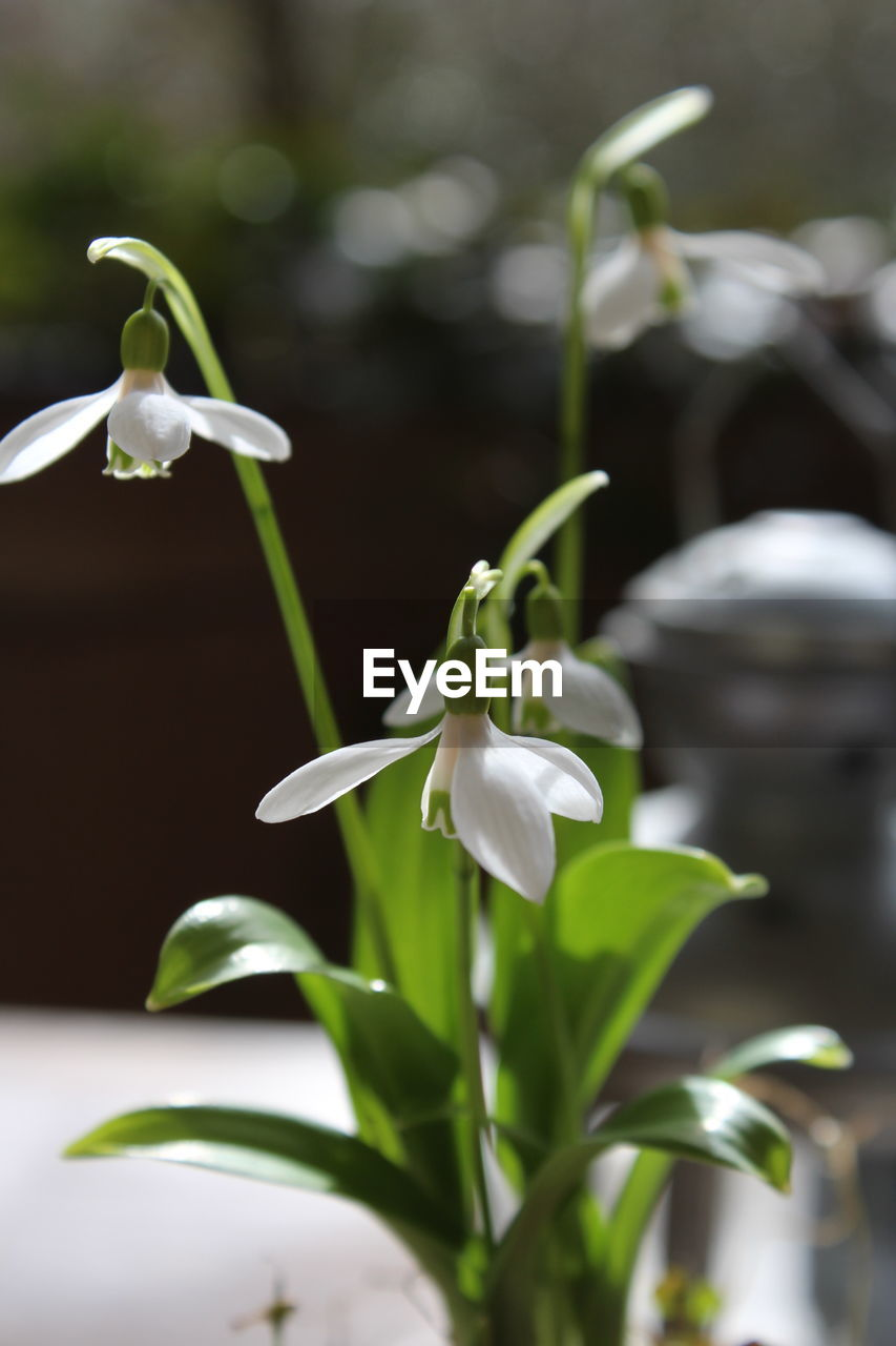 growth, flower, petal, beauty in nature, white color, nature, fragility, plant, freshness, snowdrop, flower head, blooming, no people, close-up, day, leaf, outdoors