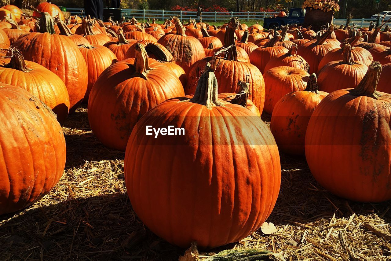 Pumpkins at farm in sunny day