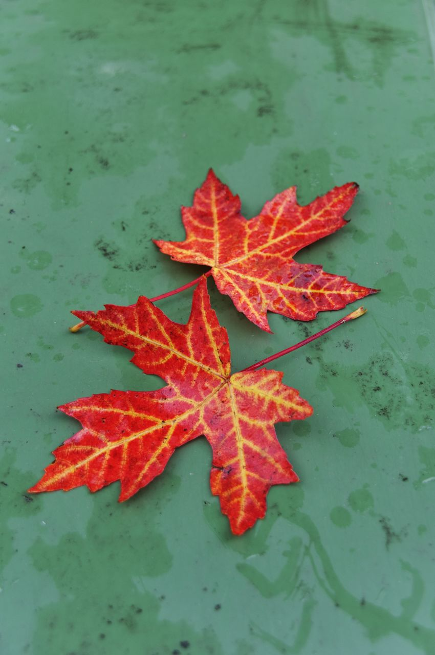 leaf, plant part, autumn, change, maple leaf, red, nature, no people, orange color, high angle view, close-up, beauty in nature, leaves, day, plant, outdoors, vulnerability, fragility, freshness, water