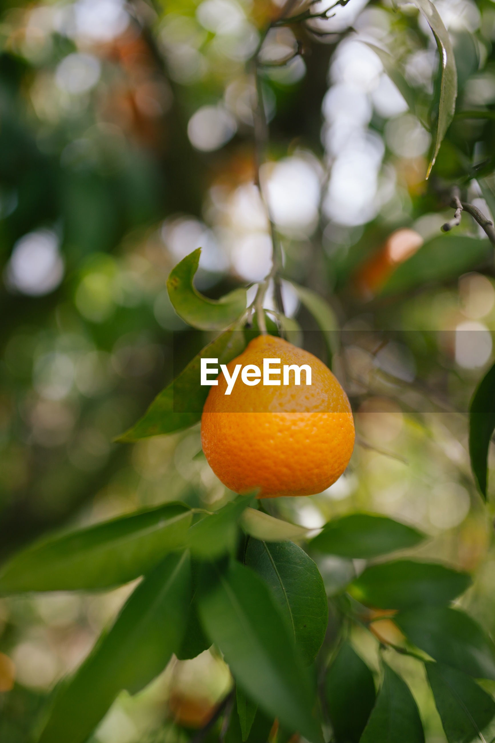 Close-up of orange fruit on tree