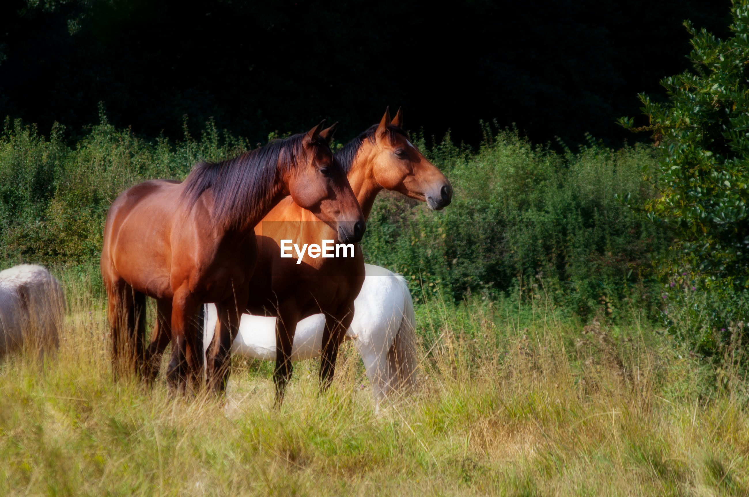 Two alert bay horses in field with other ponies