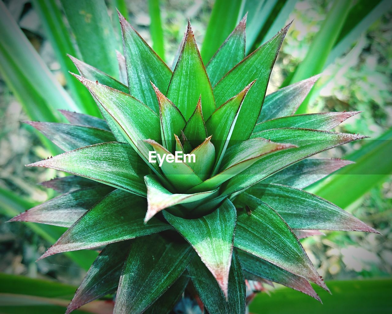 green color, growth, plant, plant part, leaf, close-up, beauty in nature, nature, day, no people, focus on foreground, succulent plant, outdoors, medicine, natural pattern, aloe, herb, tranquility, aloe vera plant, green
