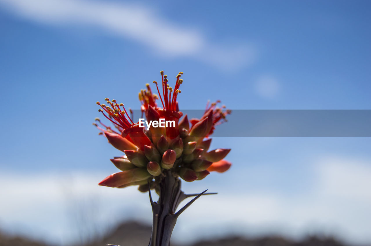 Close-Up Of Red Flower Against Sky