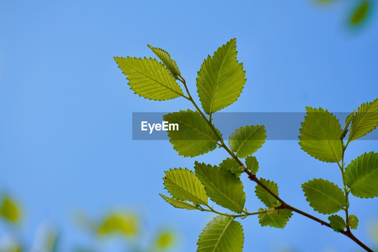 leaf, plant part, plant, green color, growth, nature, beauty in nature, sky, blue, close-up, no people, low angle view, day, tree, clear sky, leaf vein, copy space, outdoors, sunlight, tranquility, leaves