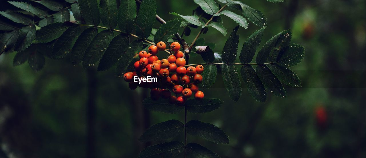 fruit, food, healthy eating, food and drink, growth, plant, plant part, leaf, freshness, berry fruit, nature, focus on foreground, green color, close-up, tree, day, no people, red, wellbeing, hanging, rowanberry, outdoors, ripe
