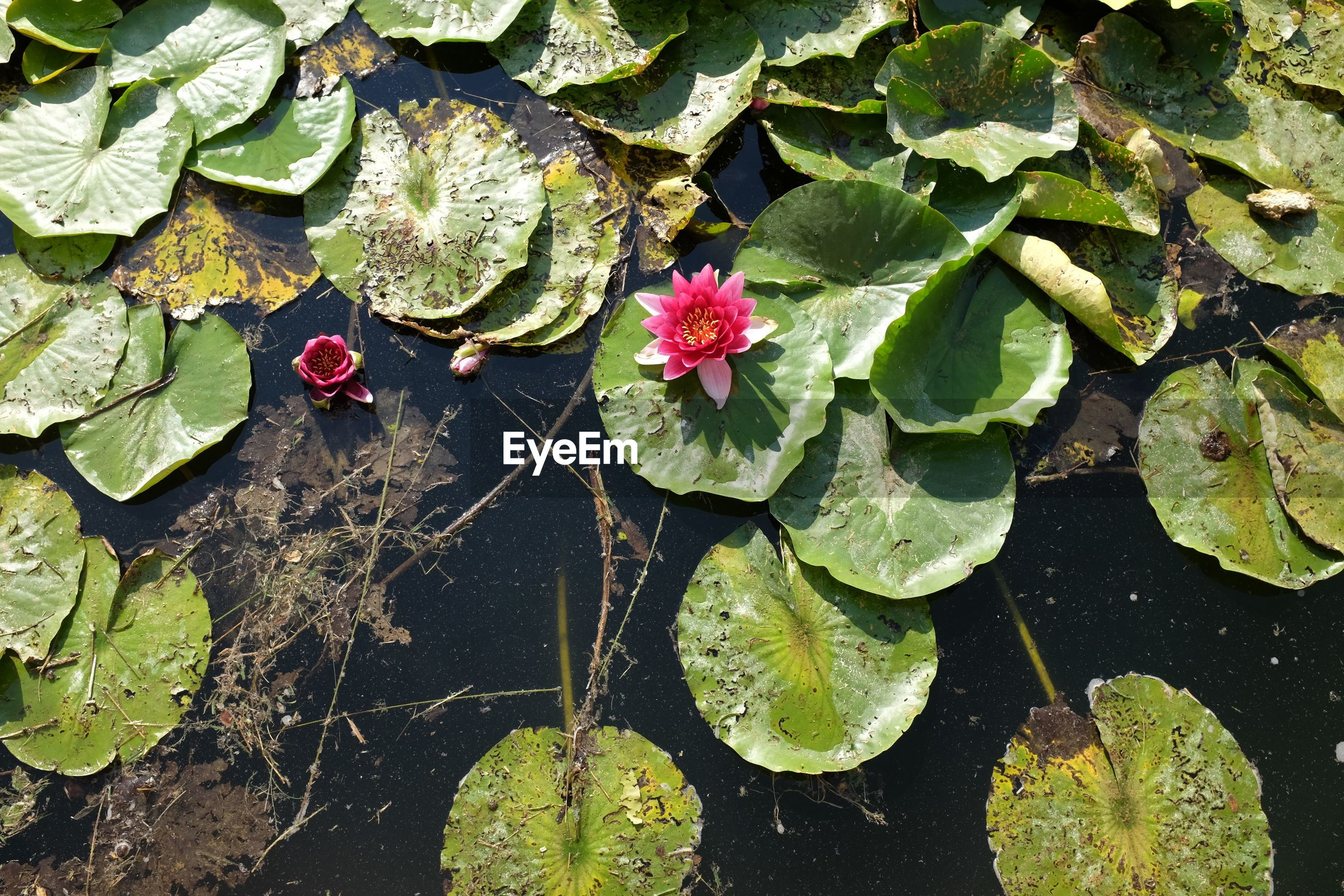 High angle view of pink water lilies and lily pads in pond