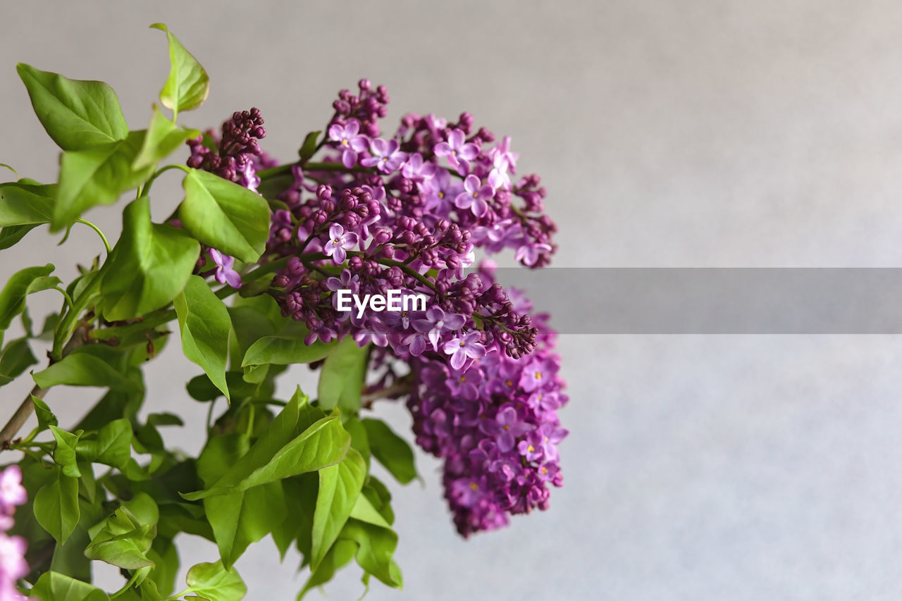 Close-up of purple flowering last lilac bouquet