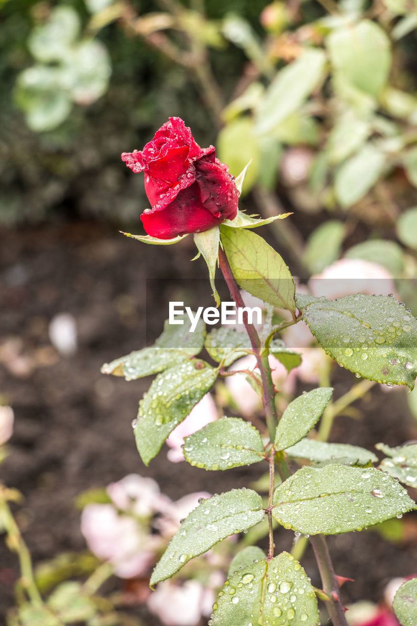 red, growth, nature, flower, plant, no people, day, rose - flower, fragility, beauty in nature, flower head, outdoors, freshness, close-up, blooming