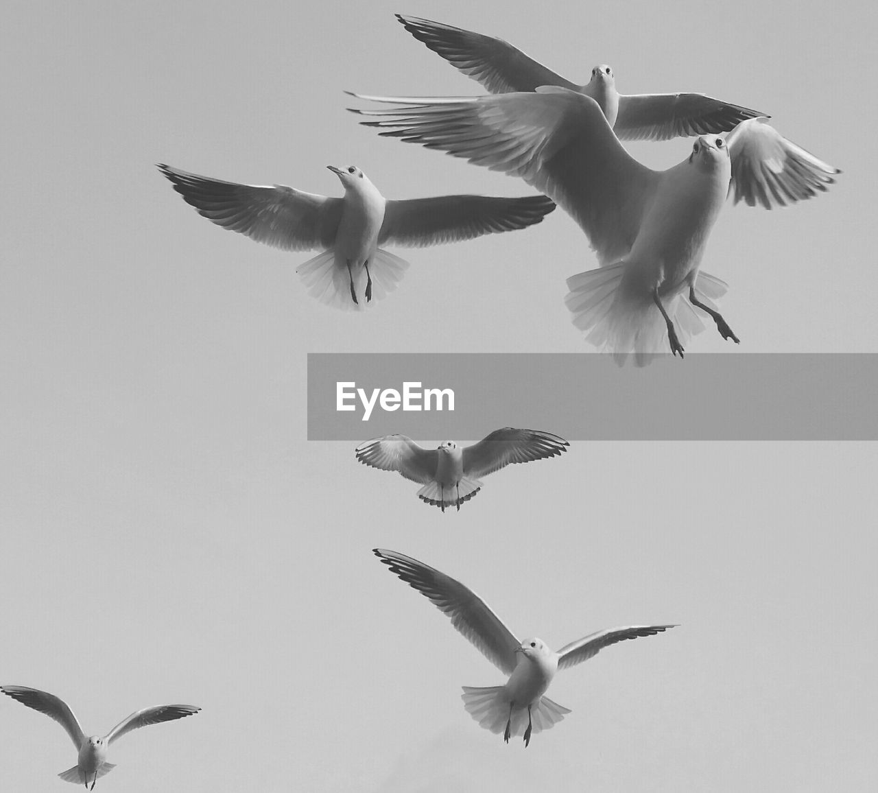 flying, spread wings, animal themes, bird, animals in the wild, mid-air, animal wildlife, nature, low angle view, motion, seagull, no people, togetherness, day, outdoors, full length, clear sky, beauty in nature, sky