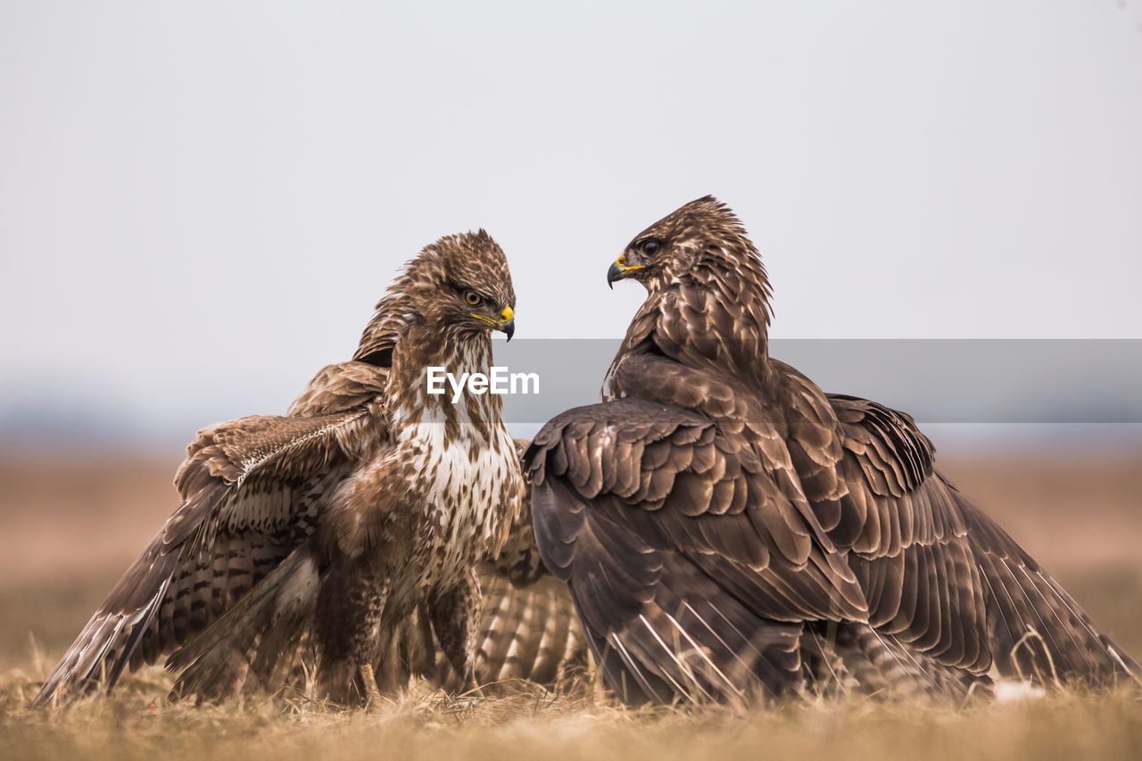 Close-up of eagles on grassy field against sky