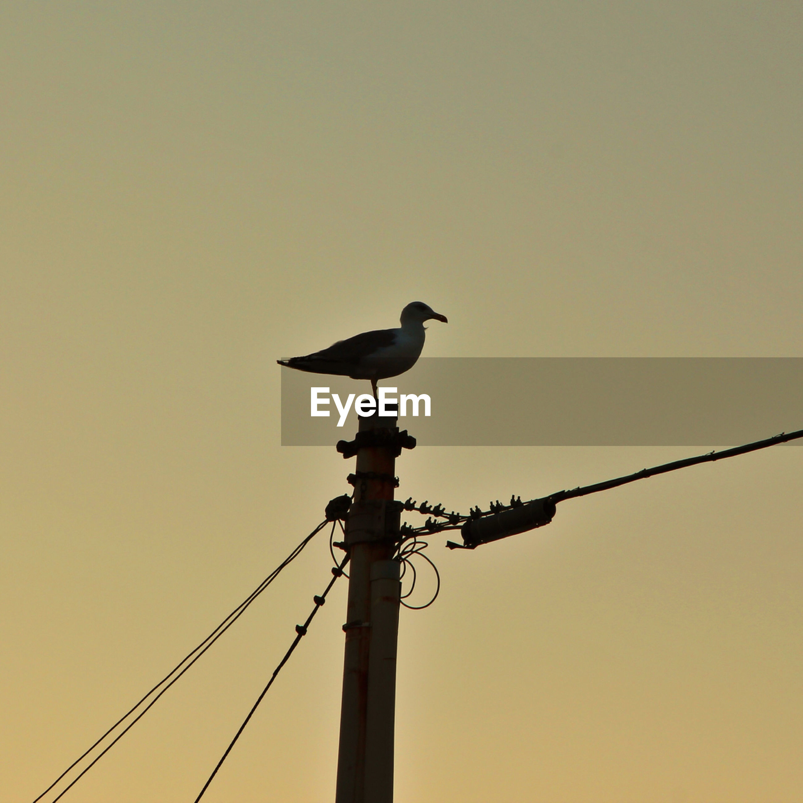 bird, animal themes, animals in the wild, wildlife, clear sky, perching, low angle view, one animal, silhouette, copy space, power line, cable, connection, pole, street light, full length, nature, avian, two animals, outdoors