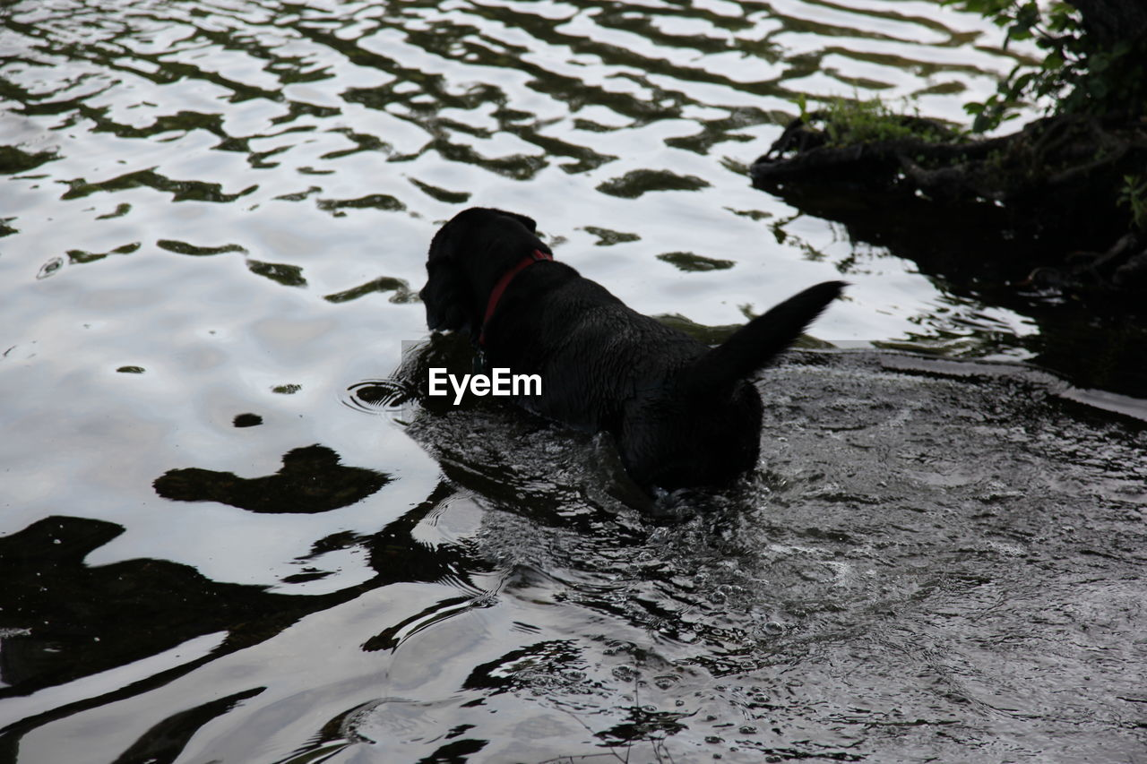 animal themes, animal, one animal, water, vertebrate, black color, lake, nature, pets, mammal, dog, canine, domestic animals, high angle view, domestic, day, no people, bird, swimming, outdoors