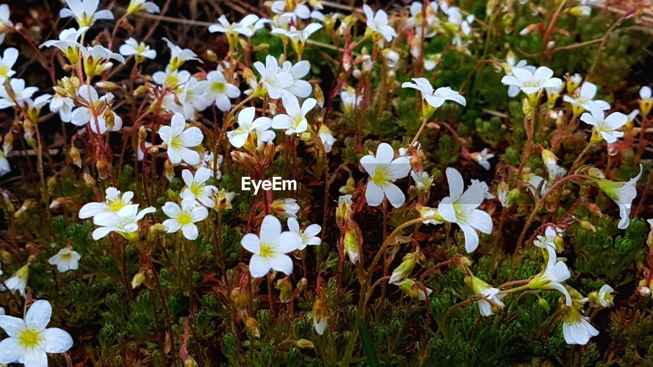 flower, flowering plant, plant, vulnerability, growth, fragility, freshness, beauty in nature, white color, field, land, petal, nature, close-up, no people, day, high angle view, flower head, inflorescence, outdoors, flowerbed