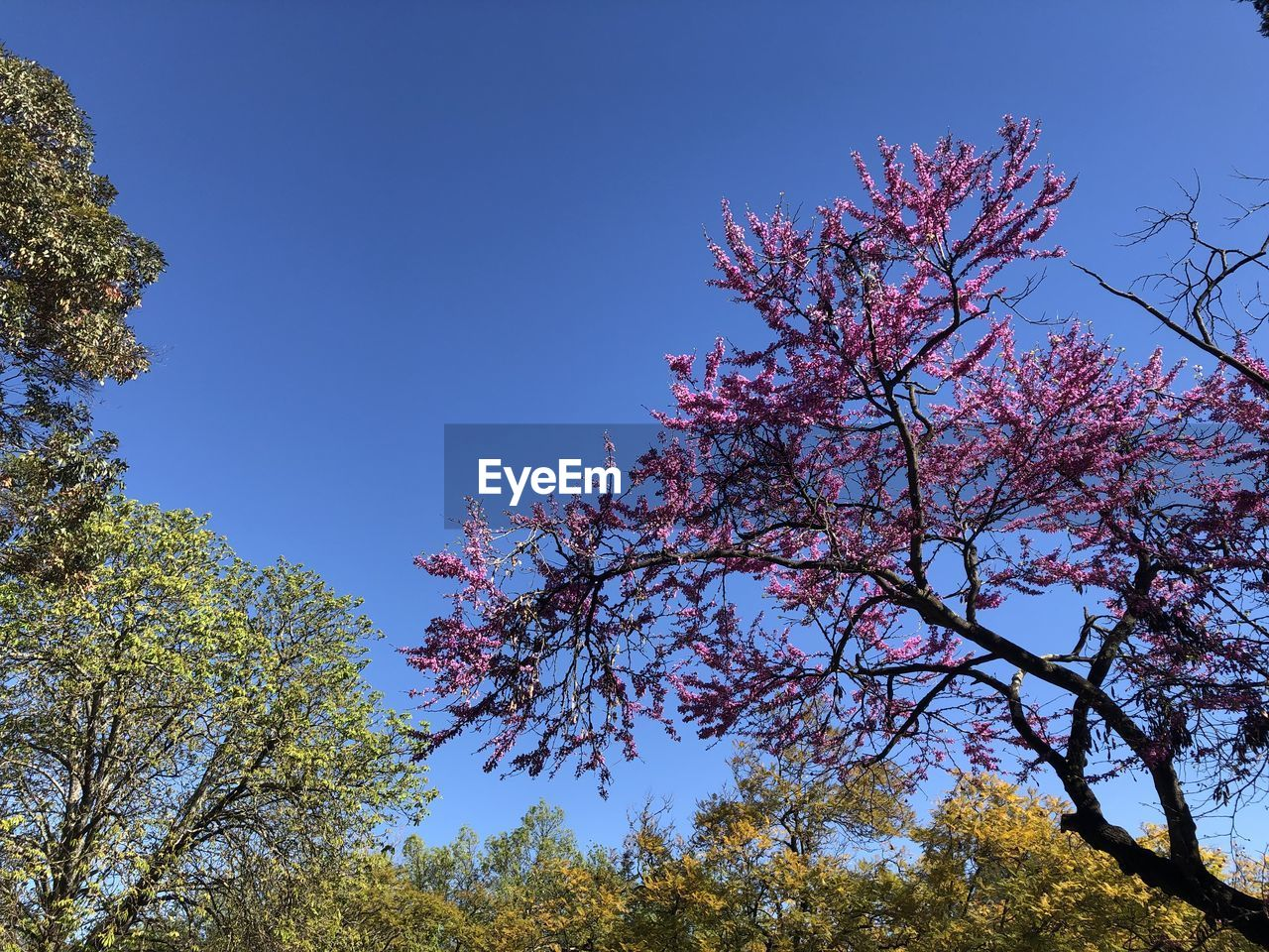 plant, tree, sky, growth, beauty in nature, branch, flower, flowering plant, low angle view, clear sky, nature, blossom, blue, pink color, day, no people, tranquility, springtime, outdoors, fragility, cherry blossom, cherry tree, spring