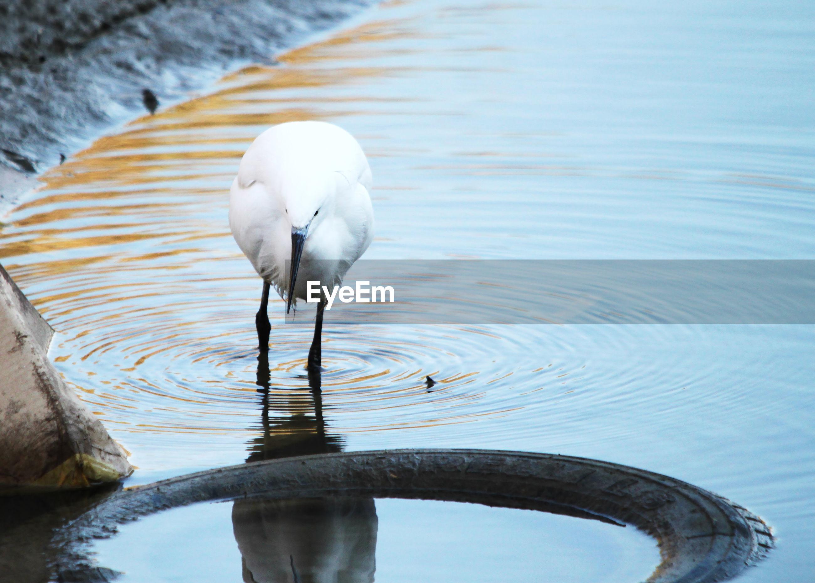 WHITE HERON IN LAKE