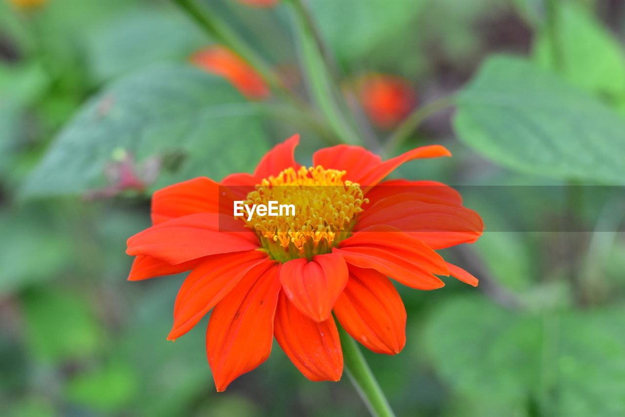 flowering plant, flower, fragility, vulnerability, flower head, freshness, petal, inflorescence, beauty in nature, plant, growth, close-up, focus on foreground, pollen, nature, no people, day, orange color, plant part