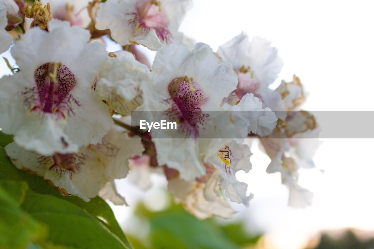 flower, flowering plant, beauty in nature, freshness, fragility, plant, close-up, growth, vulnerability, petal, selective focus, blossom, white color, inflorescence, springtime, flower head, no people, nature, tree, day, pollen, cherry blossom, bunch of flowers, cherry tree