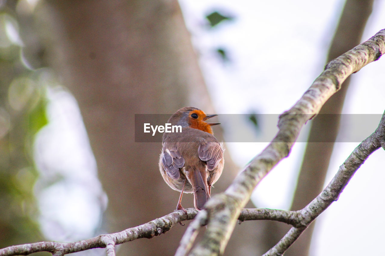 bird, vertebrate, animal themes, animal wildlife, animals in the wild, animal, perching, one animal, tree, focus on foreground, branch, day, no people, plant, robin, nature, outdoors, beauty in nature, close-up, low angle view