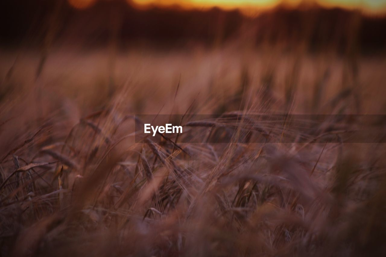 land, selective focus, field, growth, plant, beauty in nature, nature, agriculture, crop, tranquility, no people, close-up, landscape, rural scene, cereal plant, day, outdoors, farm, brown, wheat