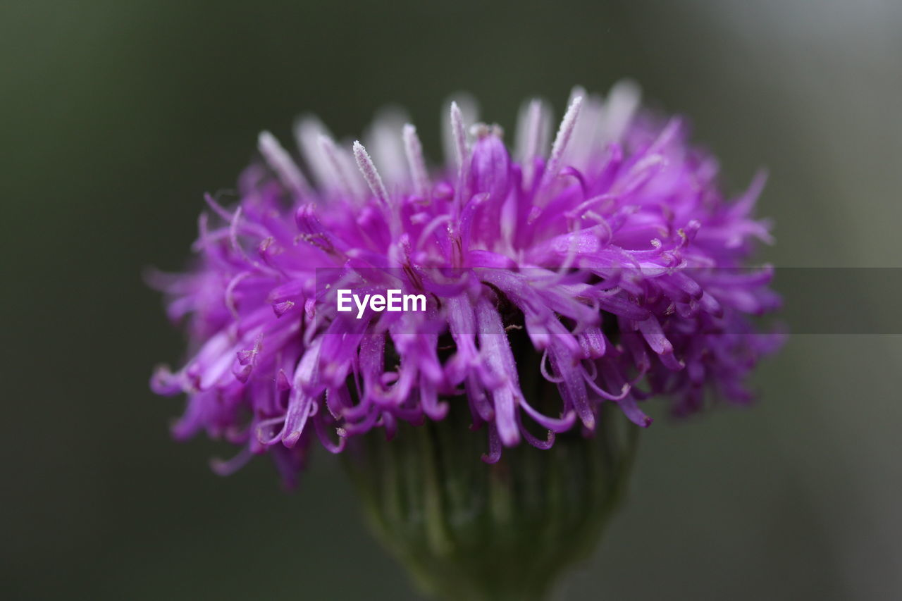 vulnerability, flowering plant, flower, fragility, freshness, close-up, beauty in nature, plant, inflorescence, flower head, petal, purple, pink color, growth, no people, nature, focus on foreground, selective focus, indoors, pollen