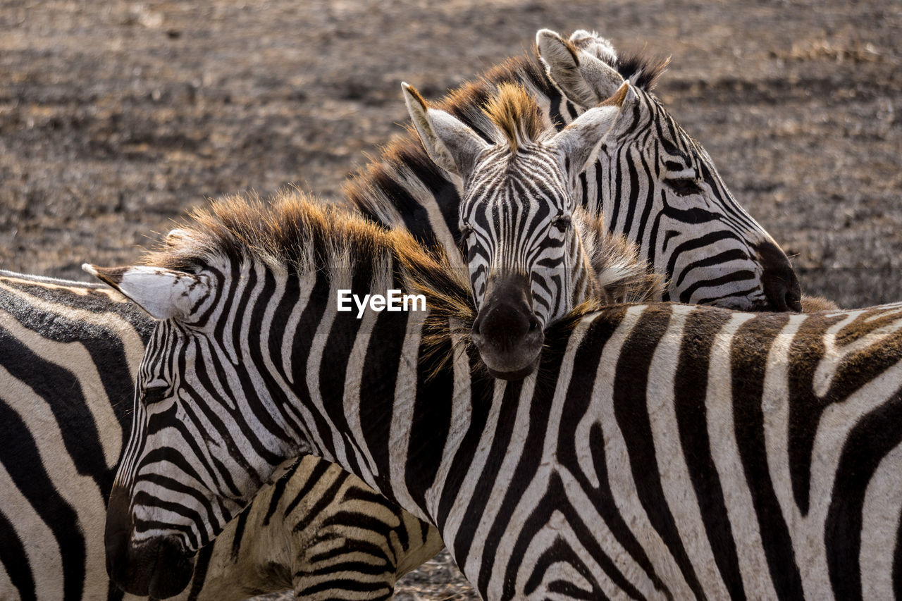 Close-Up Of Zebras Standing On Field