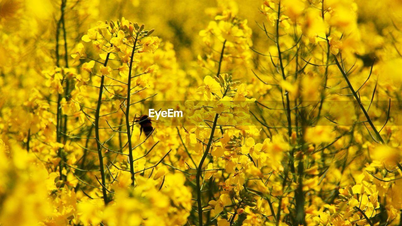Mustard crop in field