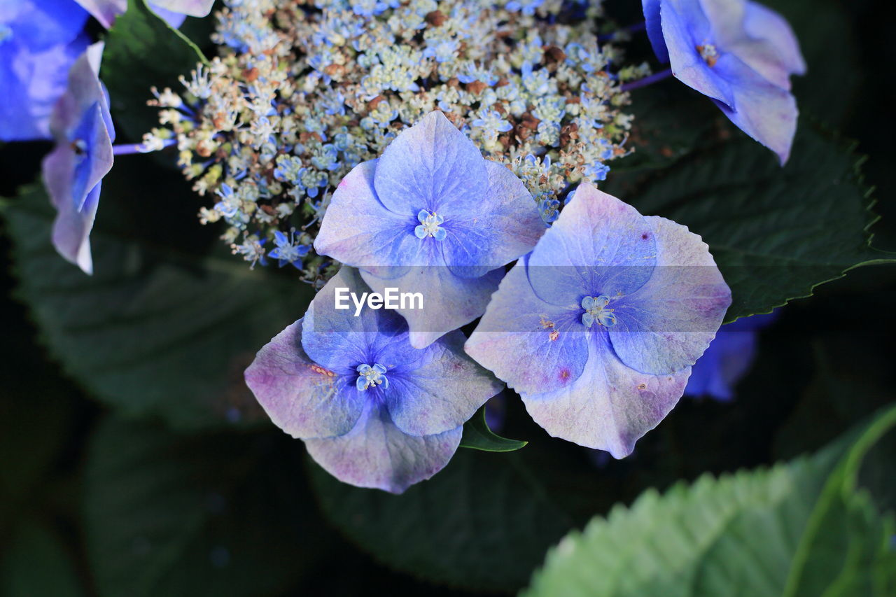 CLOSE-UP OF PURPLE HYDRANGEA PLANT