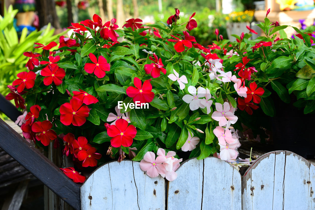 flower, flowering plant, plant, freshness, beauty in nature, fragility, vulnerability, petal, growth, leaf, plant part, flower head, inflorescence, day, close-up, red, nature, outdoors, focus on foreground, green color, flower pot
