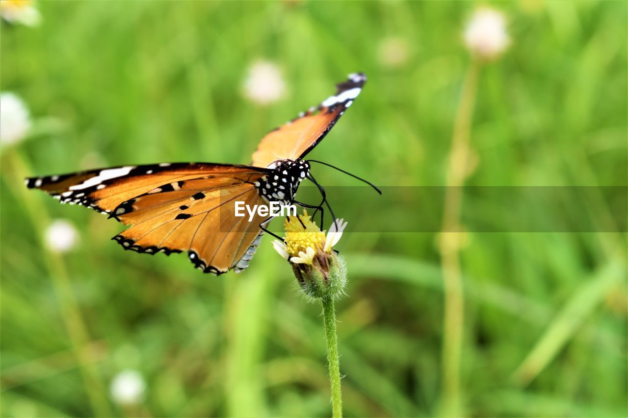 invertebrate, insect, animals in the wild, animal wing, animal wildlife, one animal, animal themes, animal, butterfly - insect, beauty in nature, plant, close-up, flower, nature, day, no people, flowering plant, growth, focus on foreground, vulnerability, butterfly, outdoors, flower head, pollination