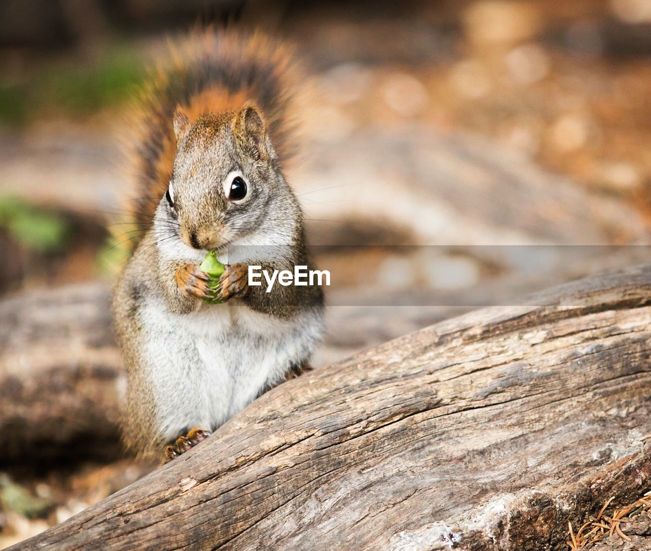 Close-up of squirrel by wood on field
