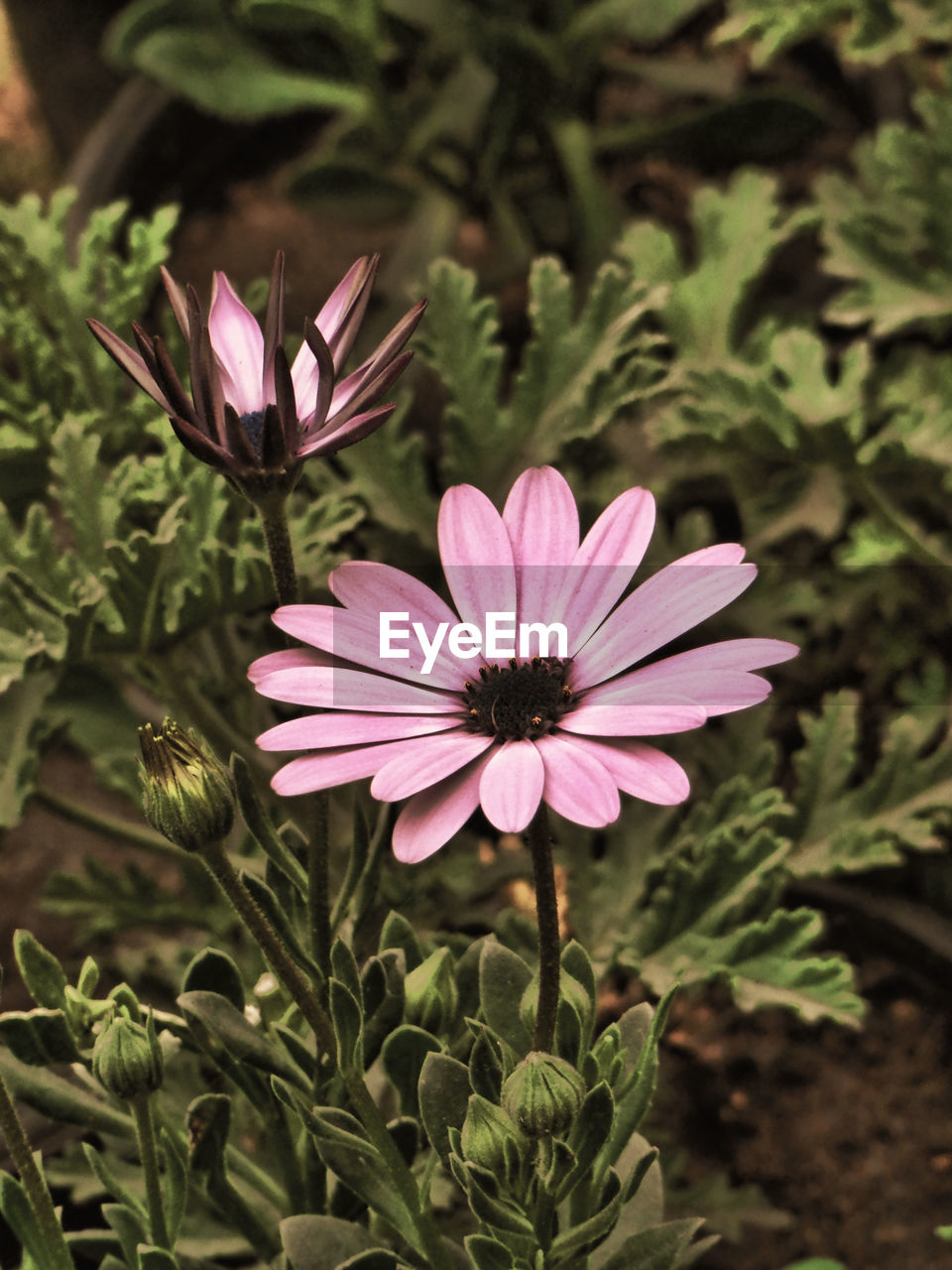 flower, growth, plant, nature, petal, fragility, flower head, beauty in nature, blooming, green color, freshness, day, outdoors, no people, leaf, close-up, osteospermum