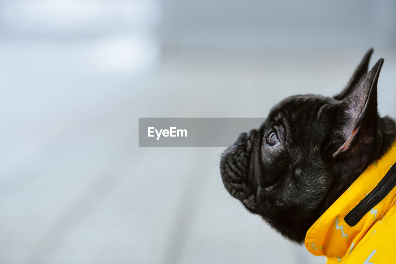 one animal, animal, domestic, pets, mammal, animal themes, domestic animals, vertebrate, dog, canine, focus on foreground, no people, animal body part, looking, close-up, black color, indoors, animal head, looking away, french bulldog, animal eye, whisker