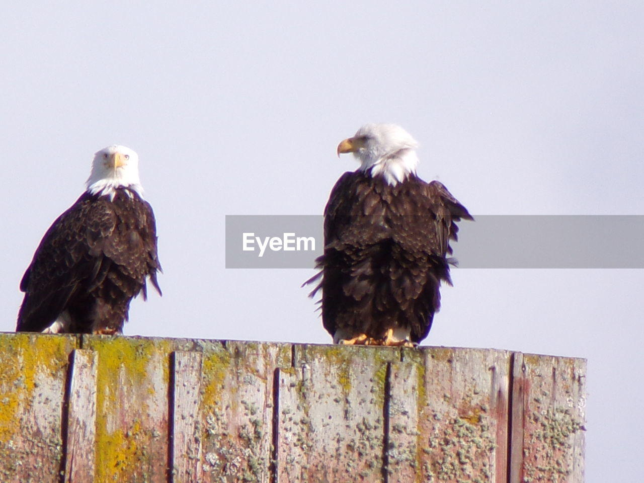 bird, animal themes, animals in the wild, perching, animal wildlife, no people, low angle view, outdoors, bird of prey, togetherness, day, nature, wooden post, beak, clear sky, close-up