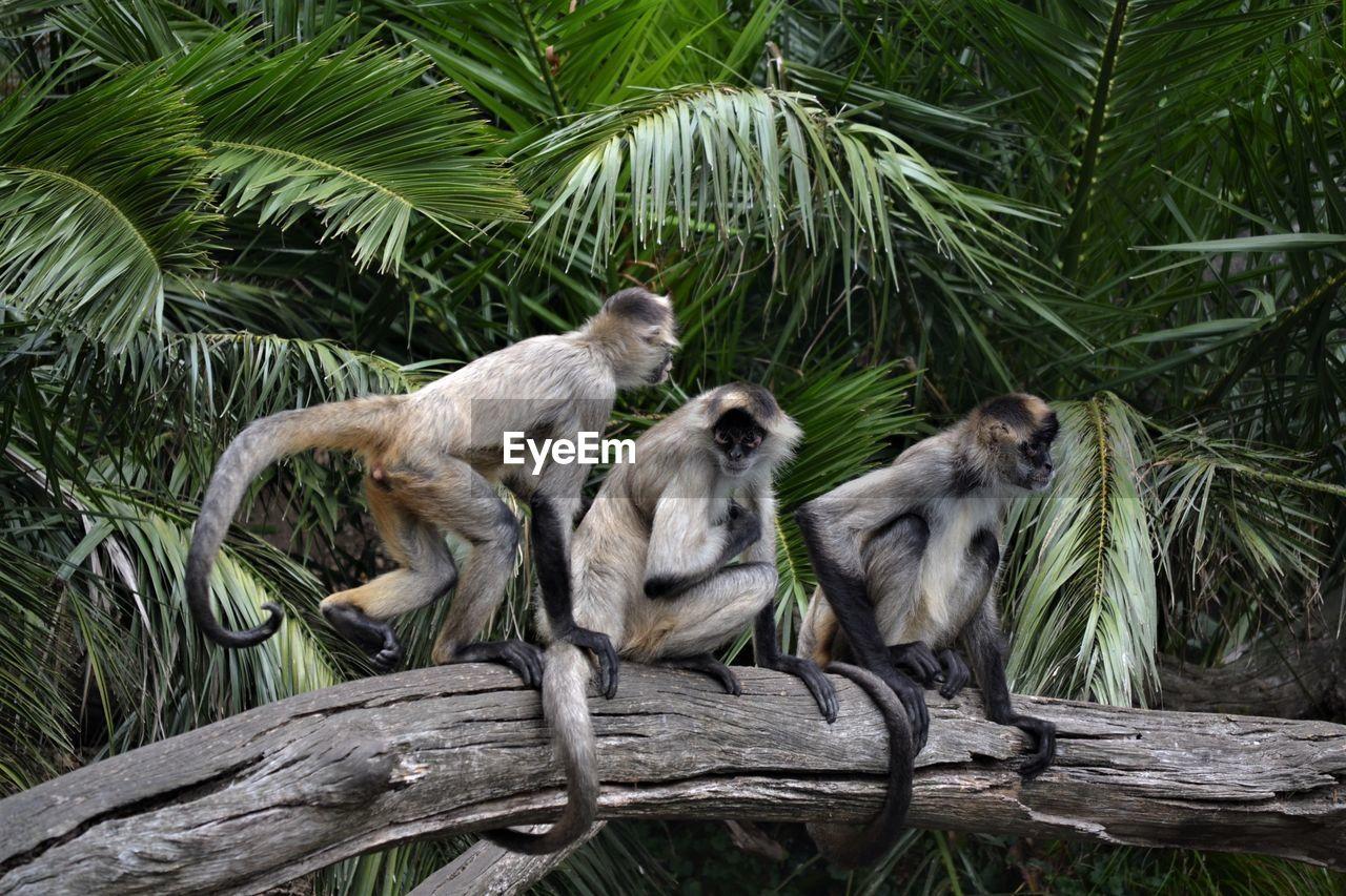 Monkeys by tree