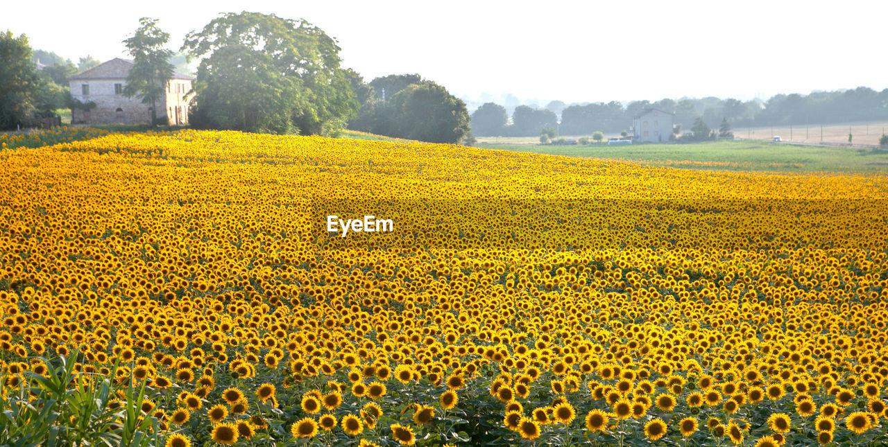 Idyllic Shot Of Sunflower Field