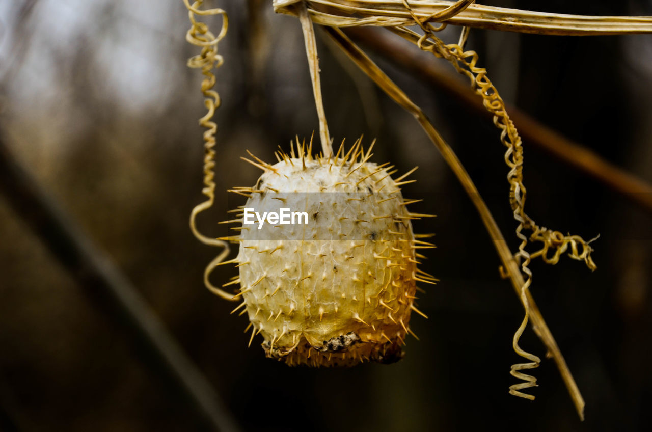close-up, plant, focus on foreground, no people, beauty in nature, nature, flower, growth, day, flowering plant, freshness, selective focus, vulnerability, outdoors, fragility, pussy willow, hanging, food, fruit, plant stem, flower head, spiky