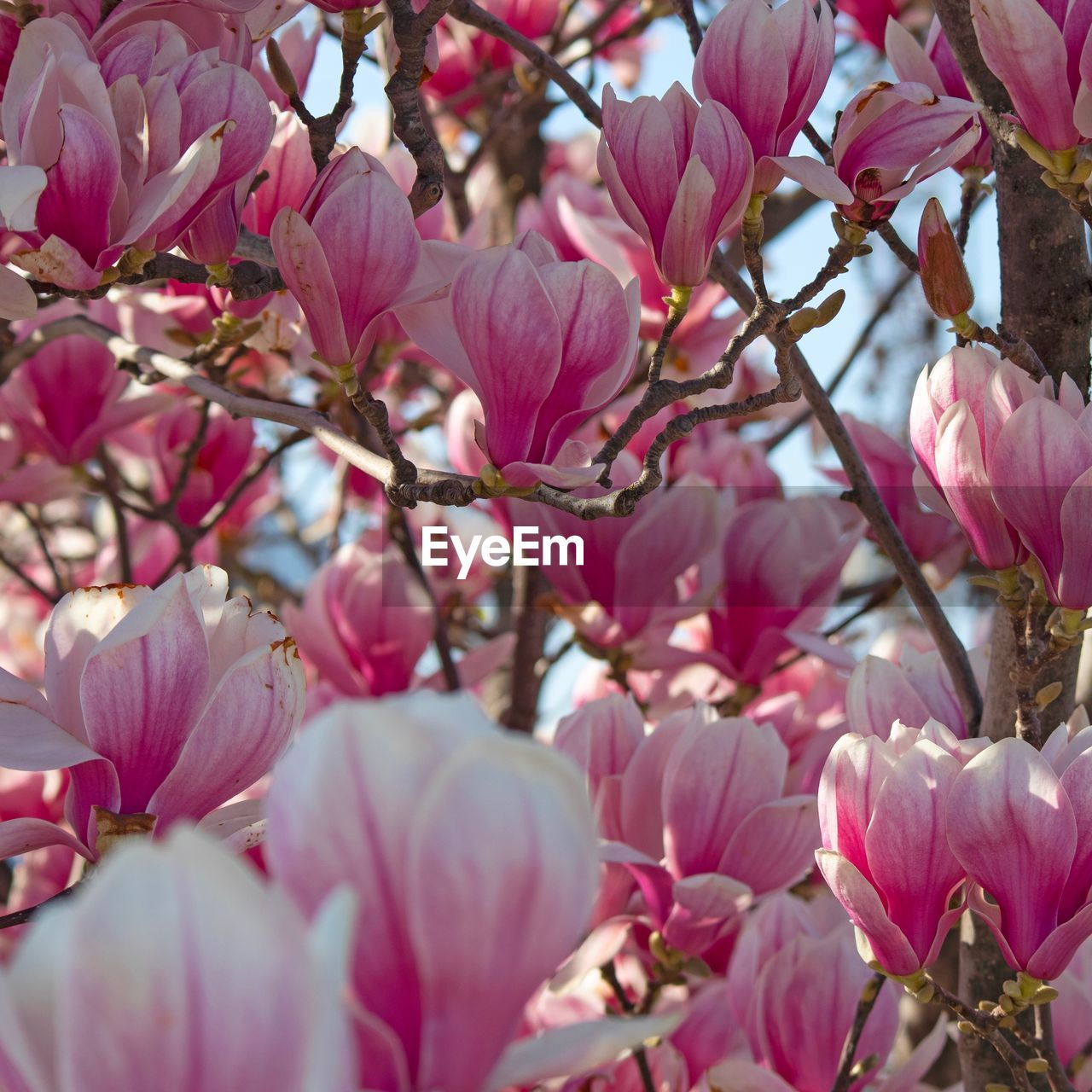 pink color, plant, beauty in nature, flowering plant, flower, growth, freshness, fragility, vulnerability, tree, close-up, branch, petal, selective focus, blossom, springtime, no people, nature, day, twig, outdoors, flower head, cherry blossom, cherry tree, spring