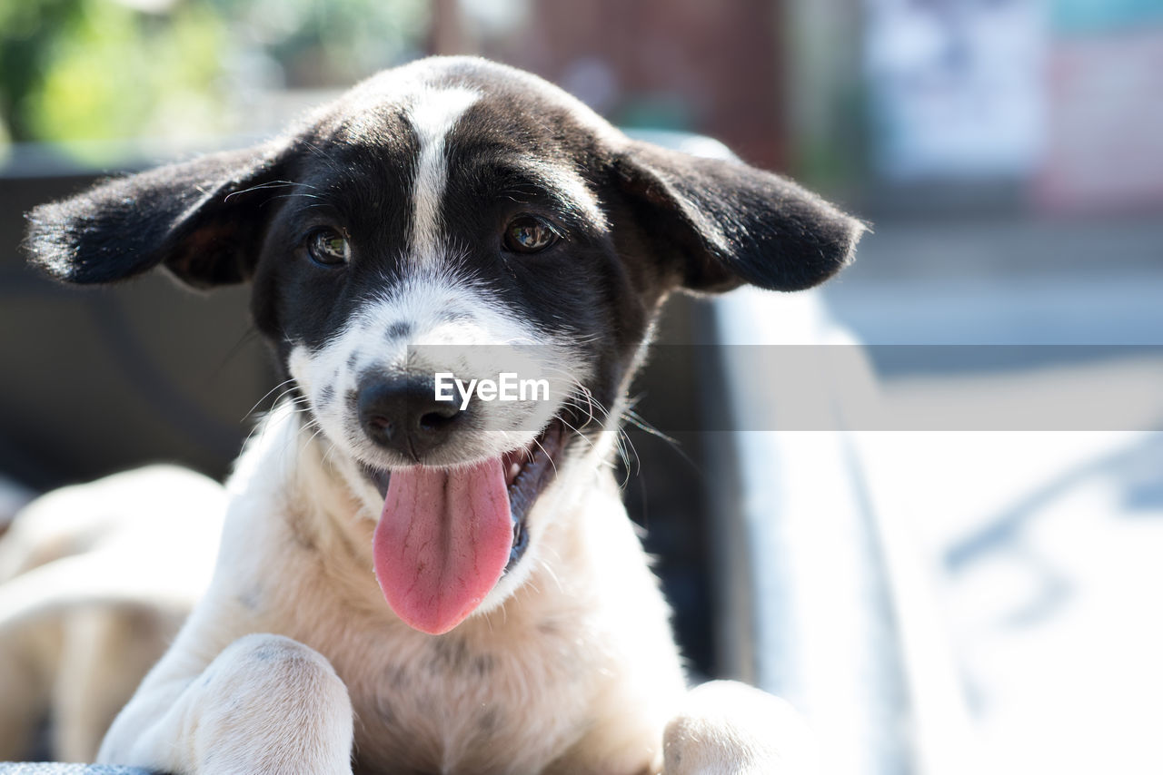 dog, pets, domestic animals, mammal, animal themes, one animal, focus on foreground, portrait, looking at camera, day, pet collar, no people, close-up, sitting, animal tongue, outdoors, nature