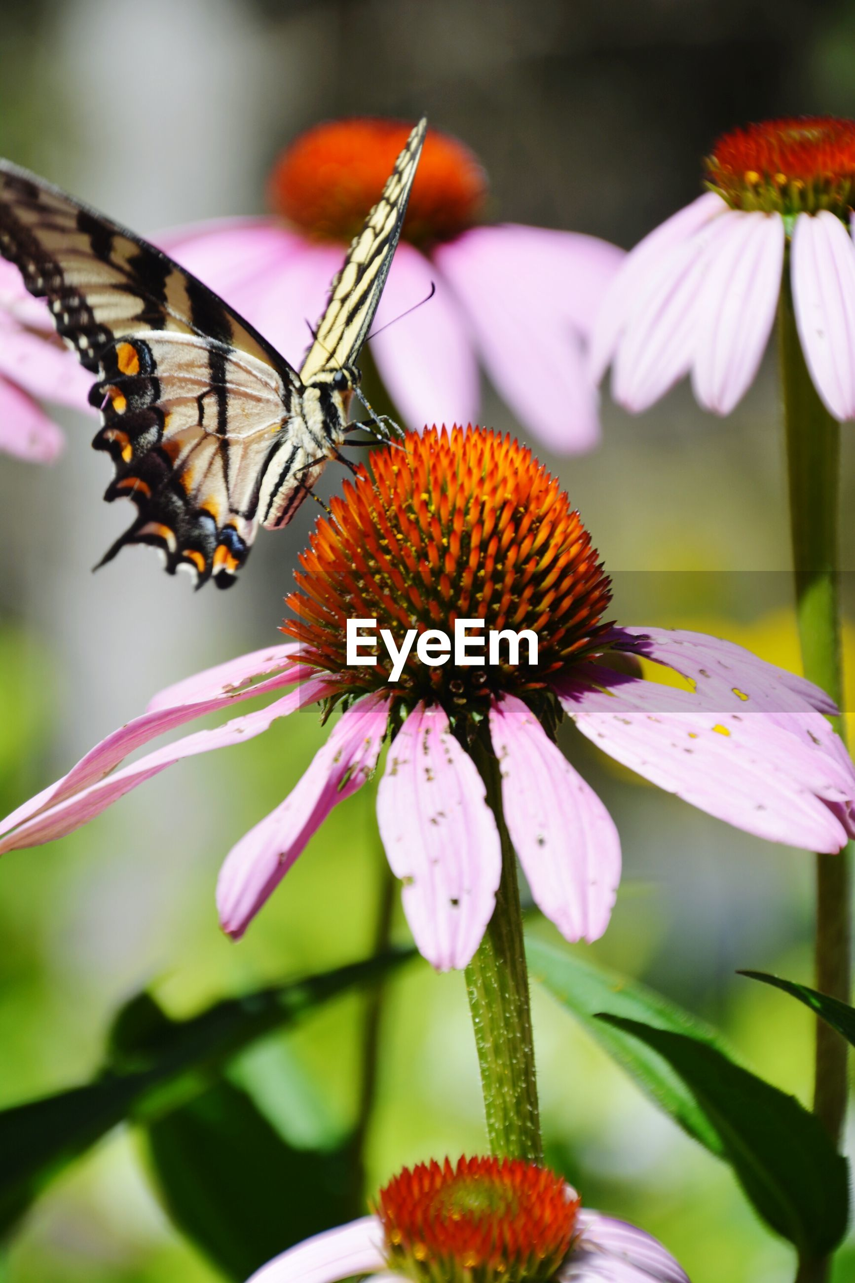 Close-up of butterfly pollinating on coneflower in garden