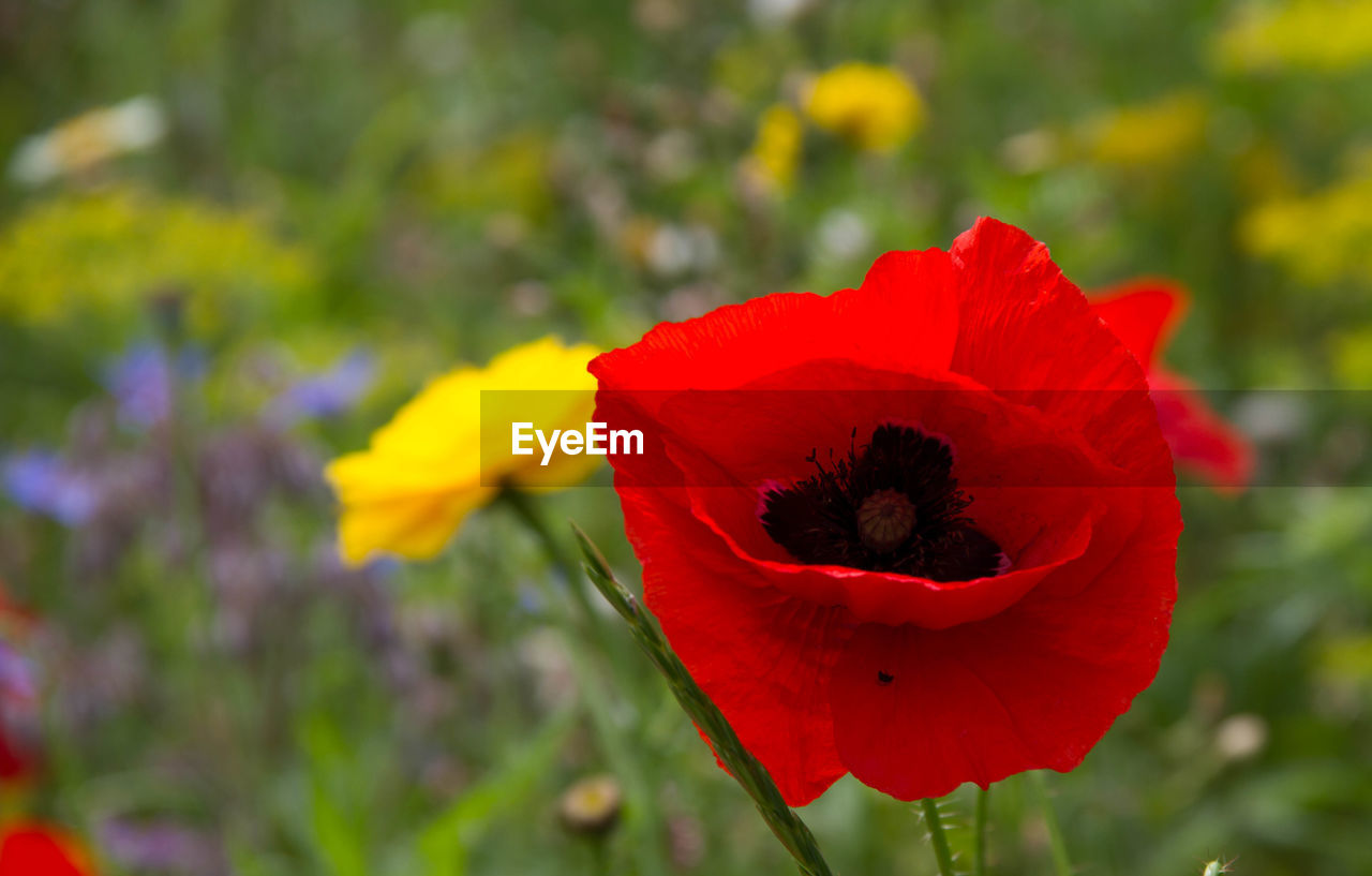 CLOSE-UP OF RED POPPY FLOWER
