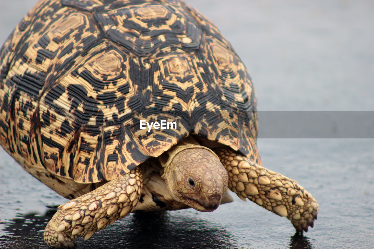 one animal, animal themes, animal, animal wildlife, turtle, animals in the wild, reptile, vertebrate, animal shell, close-up, sea, shell, focus on foreground, water, nature, no people, day, animal body part, outdoors, tortoise shell, animal head, animal scale, marine
