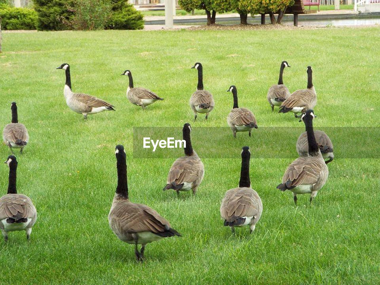 grass, bird, goose, animals in the wild, animal themes, animal wildlife, large group of animals, canada goose, greylag goose, nature, outdoors, green color, day, gosling, geese, no people, beauty in nature