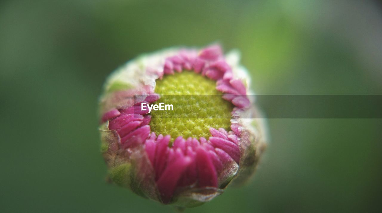 flower, fragility, petal, beauty in nature, nature, flower head, pink color, freshness, growth, plant, close-up, no people, day, outdoors, blooming, springtime