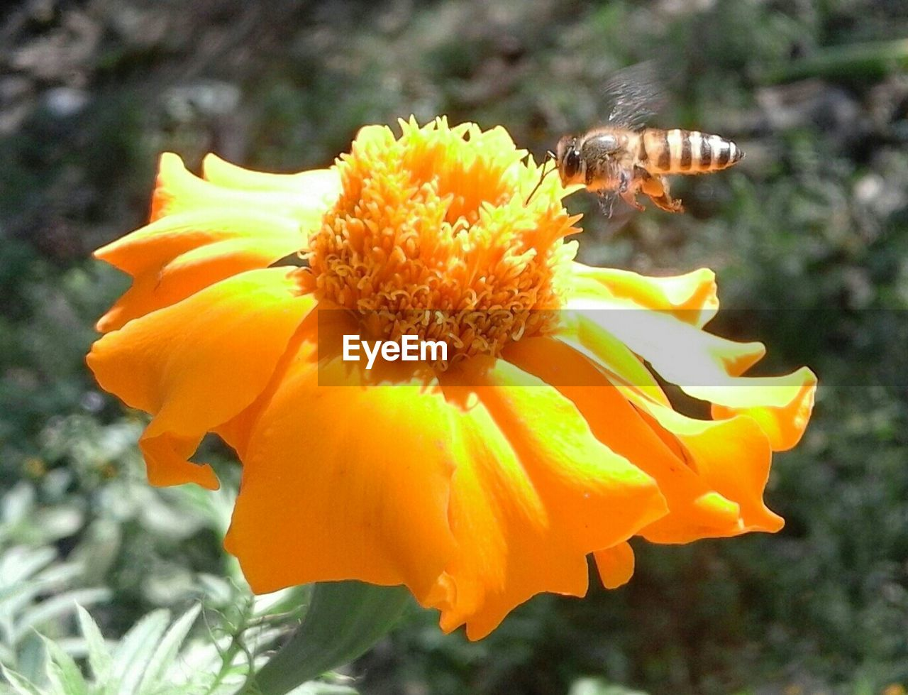 flower, petal, fragility, freshness, yellow, nature, beauty in nature, insect, flower head, outdoors, growth, plant, animal themes, animals in the wild, day, no people, close-up, focus on foreground, blooming, bee, one animal, pollen, pollination, buzzing